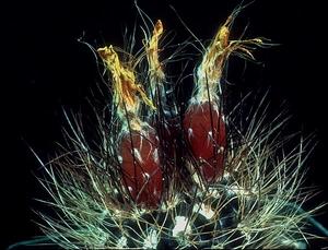 Eriosyce taltalensis ssp. paucicostata 'neohankeana' FK 489 (Taltal)