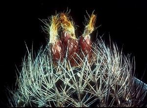 Eriosyce taltalensis ssp. paucicostata 'neohankeana' FK 499 (Taltal)