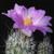 Gymnocactus subterraneus P 362