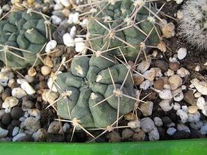 Gymnocalycium gibbosum 'chubutense' RH 2344a (Puerto Pardelas, 10m, Chubut, Arg)