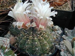 Gymnocalycium quehlianum  MN 78 (Capilla del Monte, Arg)