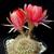 Lobivia arachnacantha 'vallegrandensis' WR 184 (Valle Grande, Bol)