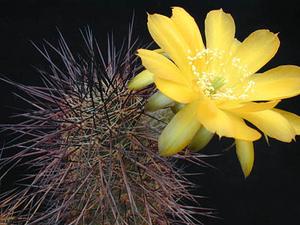 Lobivia haematantha v. elongata MN 19 (Cachi, Arg)