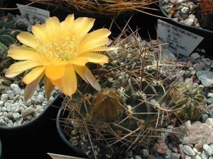 Lobivia pugionacantha v. rossii WR 70 (Huari Huari, Bol)