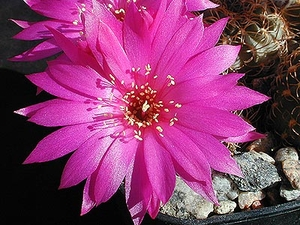 Lobivia wrightiana v. winteriana FR 1312 (Villa Azul, 2500m, Peru)