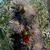 Lophocereus schottii