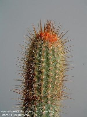 Micranthocereus densiflorus HU 221