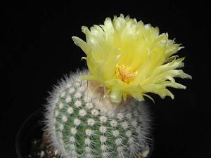 Notocactus scopa  RWB 119