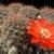 Rebutia atrovirens v. pseudoritteri WR 506