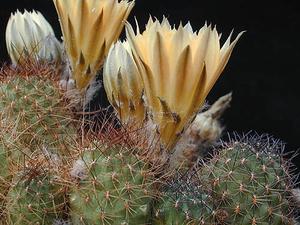Rebutia einsteinii  MN 100 (Las Cuevas, Arg)