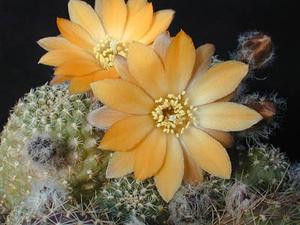 Rebutia einsteinii v. aureiflora  MN 112 (Chorrillos, Arg)