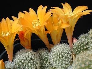 Rebutia fabrisii v. aureiflora MN 123 (Valle Colorado, Arg)