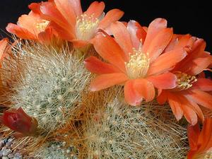 Rebutia fiebrigii 'jujuyana' MN 129 (Santa Ana, Arg)