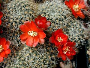 Rebutia nigricans v. carmeniana MN 149 (Santa Ana-Caspala, Arg)