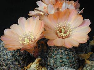 Rebutia pygmaea  MN 132 (Santa Ana, 3700-4000m, Arg)