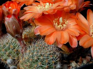 Rebutia pygmaea  MN 142 (Cortaderas, Arg)