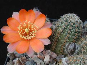 Rebutia pygmaea  MN 196 (Purmamarca, Arg)
