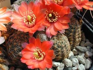 Rebutia pygmaea  MN 236 (NE Iruya, 2700m, Arg)