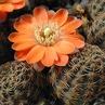 Rebutia pygmaea  MN 242 (E Iruya, Arg)