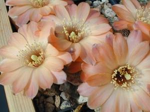 Rebutia pygmaea  MN 244 (W Humahuaca, Arg)