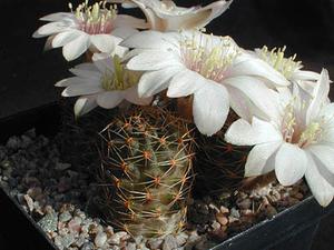 Rebutia pygmaea 'haagei' v. eos  RH 326 (Mal Paso, 3700m, Bol)