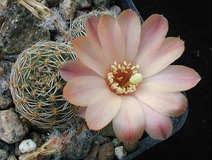 Rebutia pygmaea 'haagei' v. violascens J 171a (W Tafna, Arg)