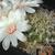 Sulcorebutia cylindrica 'crucensis' HS 44a (Cruce, Cerro Morangmorang Punta, Cochabamba, 2450m, Bol)
