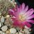 Sulcorebutia oenantha v. pampagrandensis  JK 139