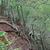 Trichocereus thelegonoides MN 314 (San Lucas - Peña Alta, 1245m, Jujuy, Arg)