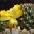 Sulcorebutia steinbachii 'gracilior' HS 209 (Colomi, Chapare, 3900m, Cochabamba, Bolivia)