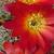 Sulcorebutia azurduyensis LH 1422 (Azurduy, Chuquisaca, Bol)
