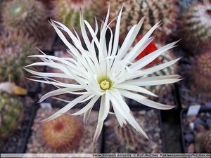 Seti-echinopsis mirabilis  WR 131 (Patquia)