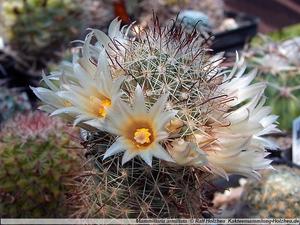 Mammillaria armillata ZRI 543/13