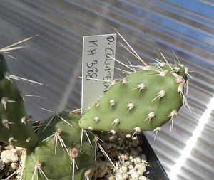 [PLANT/PFLANZE] Opuntia columbiana MH 388 (Ashcroft,  BC, Canada) **