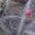 Harrisia bonplandii  JL 123 (Las Lomitas, 150m, Arg)