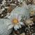 Mammillaria pectinata (Tecamachalco, Pue)