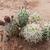 Tephrocactus spec. 'danielii albispinus' JN 1803 (North West Part of the province La Rioja, 1756m, La Rioja, Arg
