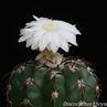 Discocactus crystallophilus  HU 582 (Tomas Gonzaga, Minas Gerais, Brazil)