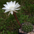 Echinopsis albispinosa 'silvestrii' TB 415.2 (Las Curtiembes, 1287m, Salta, Argentina)