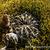 Echinopsis ancistrophora  TB 418.3 (Cuesta el Lajar, Salta, 1934m, Argentina)