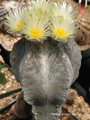 Astrophytum myriostigma 'columnare'