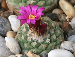 Strombocactus disciformis ssp. esperanzae MZ 863 (Las Adjuntas,Guanajuato, Mex)