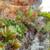Echeveria gracilis