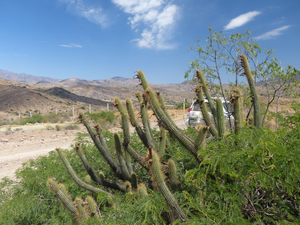 Cleistocactus buchtienii MN 611 (N San Pedro de Buena Vista, Bol)