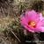 Echinocereus brandegeei
