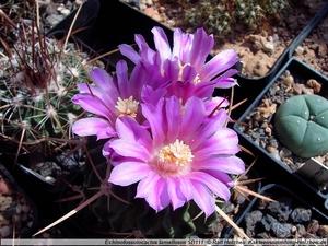 Stenocactus crispatus 'lamellosus' SB 111 (Metzquititlan, Mex)