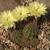 Lobivia aurea v. shaferi TB0436.1 (Chilca, E of Andalgala, Catamarca, Argentina)