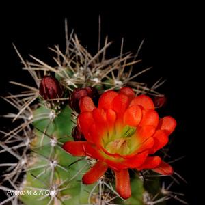 Echinocereus coccineus fma octacanthus (Sitting Bull, NM)