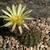 Lobivia aurea v. tortuosa TB0657.1 (Santa Catalina, E of La Velle, Santiago del Estero, Argentina)