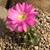 Lobivia caineana  TB0803.1 (Capinota, Cochabamba, Bolivia)